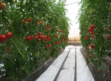 Solarii legume sau flori